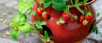 Клубника: выращивание в домашних условиях круглый год