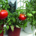 Комнатные помидоры: как получить гарантированный урожай