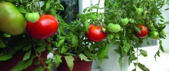 Выращивание томатов на подоконнике в домашних условиях