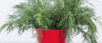 Укроп на подоконнике: выращивание из семян зимой