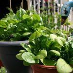 Как вырастить шпинат на подоконнике в квартире из семян, рассады или ростков