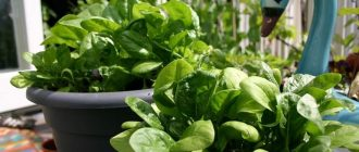 Шпинат: выращивание на подоконнике