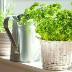 Как посадить петрушку дома: на подоконнике зимой, выбор сорта и необходимые условия