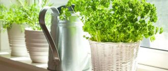 Как посадить петрушку дома на подоконнике