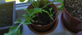 Рукола: выращивание на подоконнике