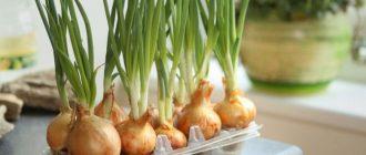 Как вырастить лук на подоконнике из луковицы