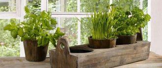 Зелень на подоконнике: выращивание из семян